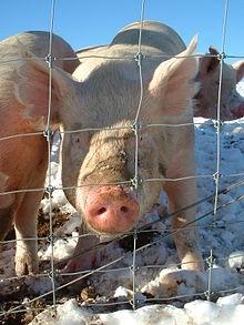 خوک تراریخت