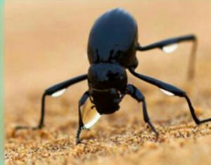 سوسک سیاه نامیب