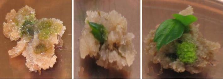 انتقال ژن با استفاده از آگروباکتریوم، سلولهای آلوده شده شروع به تشکیل پینه در کنار قطعات گیاه می¬کنند