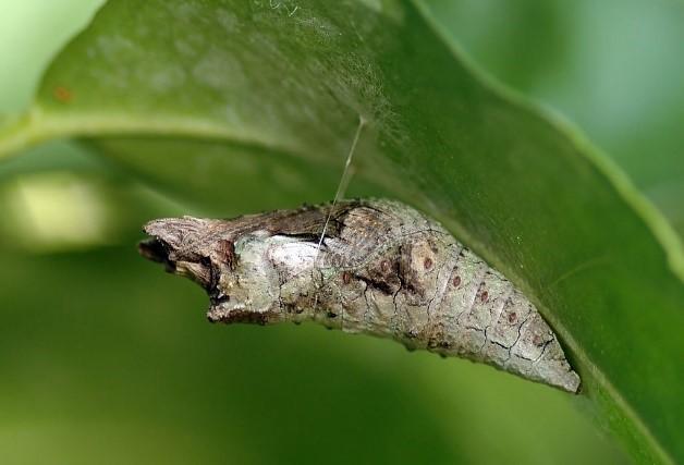 شفیره نمونه ای  پروانه دم چلچله ای