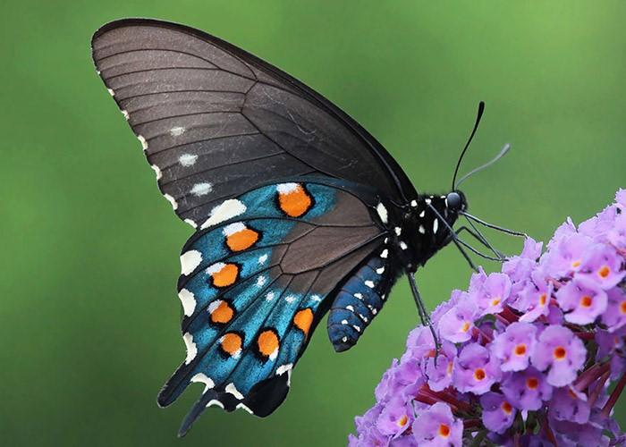 نمونه ای پروانه دم چلچله ای