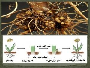 گال های القا شده توسط باکتری آگروباکتریوم در گیاه