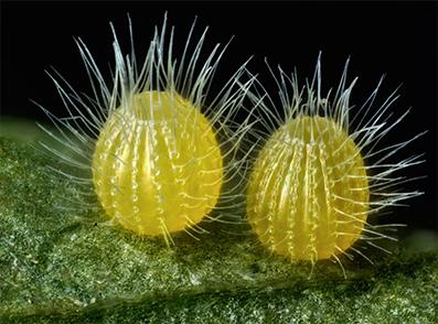 تصویر میکروسکپی از تخم های پروانه Common Mestra