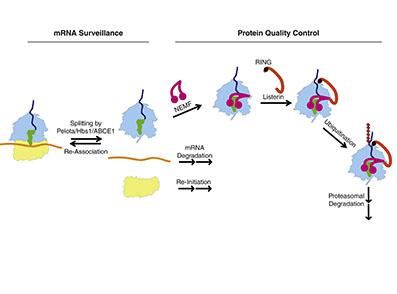 پروتئین Rqc2 یا فسیل مولکولی زنده