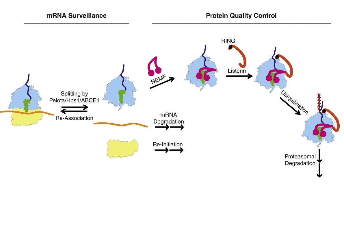 مراحل مختلف در هدایت پروتئین ناقص به سمت پروتئوزوم ( پروتئین NEMF یا Rqc2 یکی از پروتئینهای کلیدی در این فرایند به شمار میرود )
