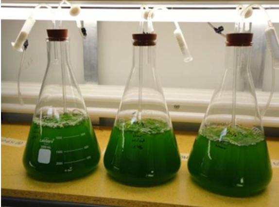کشت و تولید ریز جلبک ها در آزمایشگاه