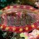 گهواره دریایی یا کیتون