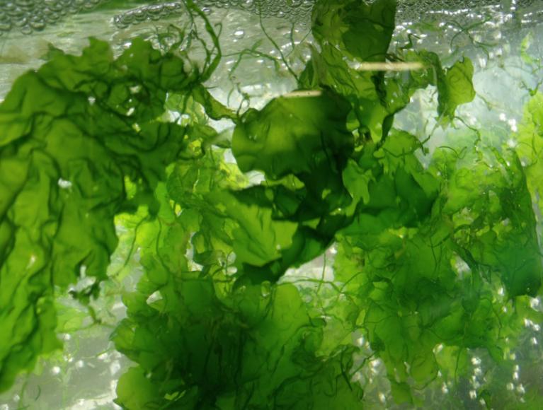 جلبکهای دریایی)  Seaweedیا( Macroalgae
