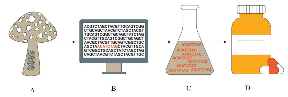(Aتوالی ژنومی قارچ  (Bاستخراج ژنوم و انتخاب دستهی ژنی(C  بیان دستهی ژنی موردنظر در مخمر و تولید فرآوردههای طبیعی  (Dتکامل فرآورده های طبیعی در جهت تولید داروی مورد نظر