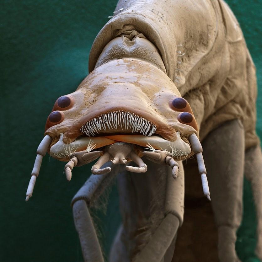 تصویر میکروسکوپ الکترونی از لارو سوسک غواص بزرگ با نام علمی Dytiscus marginalis ) ) با چهار چشم و ظاهری عجیب