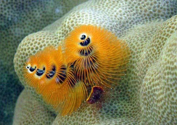 زیبایی و درخشش شگفت انگیز انواع مختلف کرمهای درخت کریسمس در اقیانوسهای گرمسیری