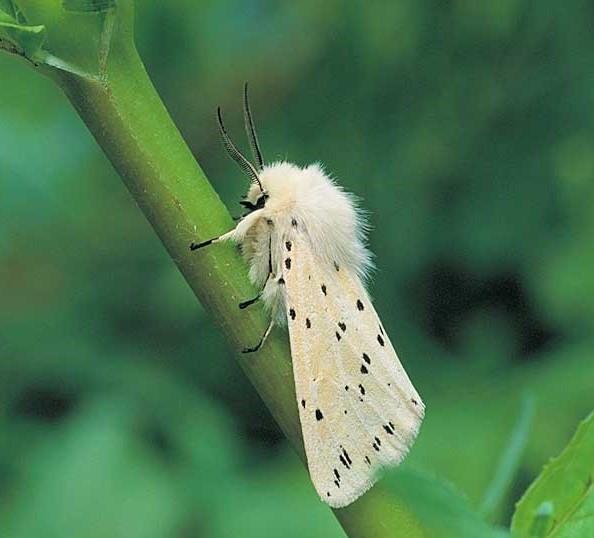 پروانه قاقم سفید (  White ermine) با نام علمی  Spilosome Inbricipedaکه، نوعی پروانهی سمی به حساب میآید.