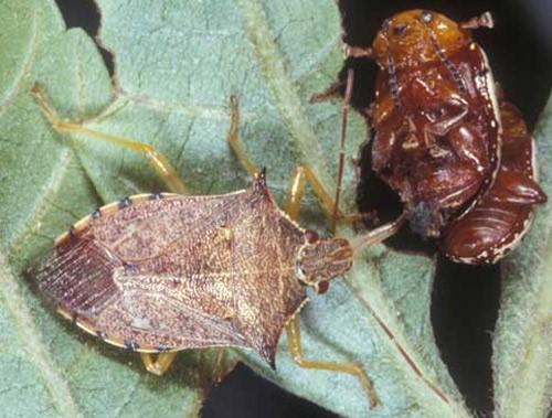 spined soldier bug  یک نوع حشره ی آمریکایی در فرم بالغ