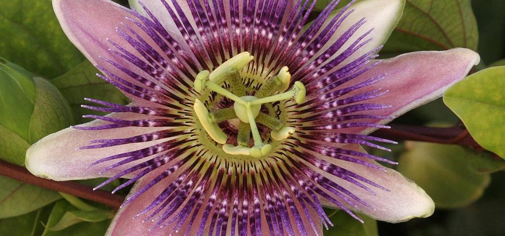 گل عشق (Passion flower ) با نام علمی ( Passiflora serrato )