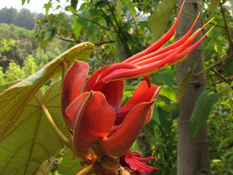 گلهای زیبا و عجیب گیاه دست شیطان که درفصل بهار وتابستان شکوفا میشوند.