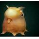 اختاپوس دامبو ( dumbo octopus )، موجودی کوچک ( در حدود 8 اینچ طول ) در اعماق بستر اقیانوس