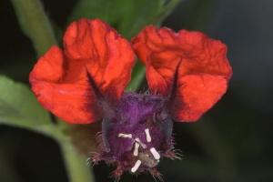 گیاه صورت خفاشی ( Cuphea llavea )، گونهای از گیاهان گلدار متعلق به جنس Cuphea از خانواده Lythraceae است.