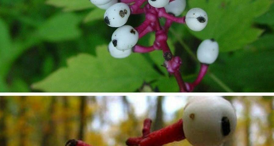 گیاه گلدار چشمهای عروسک ( Actaea pachypoda )، میوهی آن دارای سم cardiogenic است كه باعث آرام بخشی فوری روی ماهیچه قلب میشود لذا،خوردن آن منجر به كند شدن ضربان قلب و مرگ میشود.